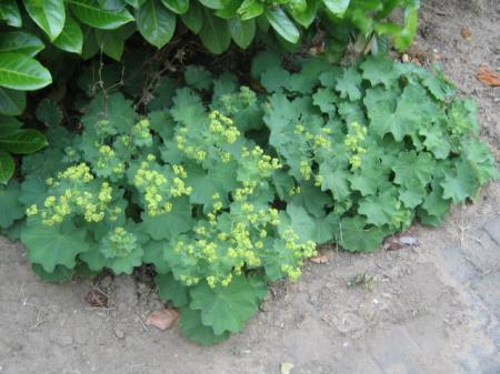 Planten En Bomen : Identificeren planten en bomen pagina 2 groeninfo.com tuinforum