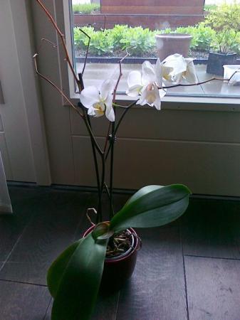 orchidee uitgebloeid waar afknippen
