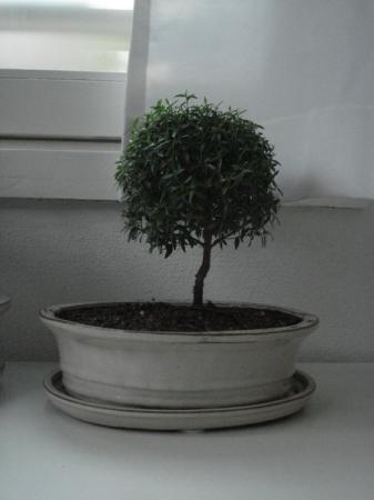 Bonsai Voor Binnen.Binnen Vs Buitenbonsai Groeninfo Com Tuinforum