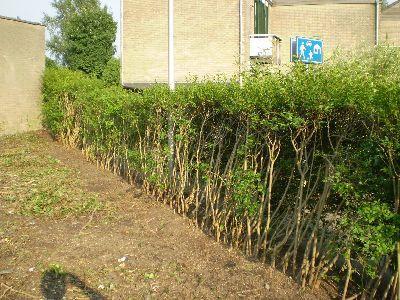 liguster heg oud en kaal   groeninfo tuinforum
