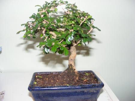 Bonsai Boom Verzorgen : Soort bonsai verzorging groeninfo.com tuinforum