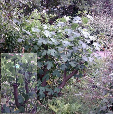 verplaatste vijgenboom snoeien   groeninfo tuinforum