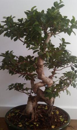 Ficus Ginseng Bladverlies Zoveelste Groeninfo Com Tuinforum