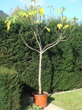 snoeien vijgenboom?   groeninfo tuinforum