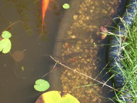 Vissen In Vijver : Onbekende vissen in vijver groeninfo tuinforum