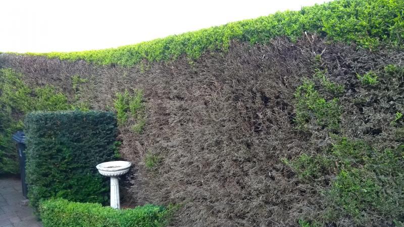 is deze coniferenhaag nog te redden? | groeninfo tuinforum