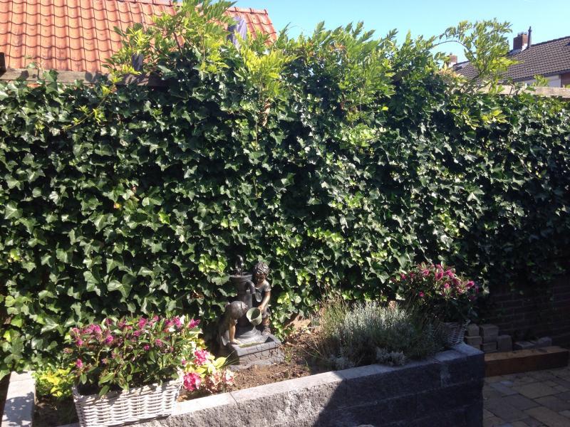 hedra klimop snoeien   groeninfo tuinforum