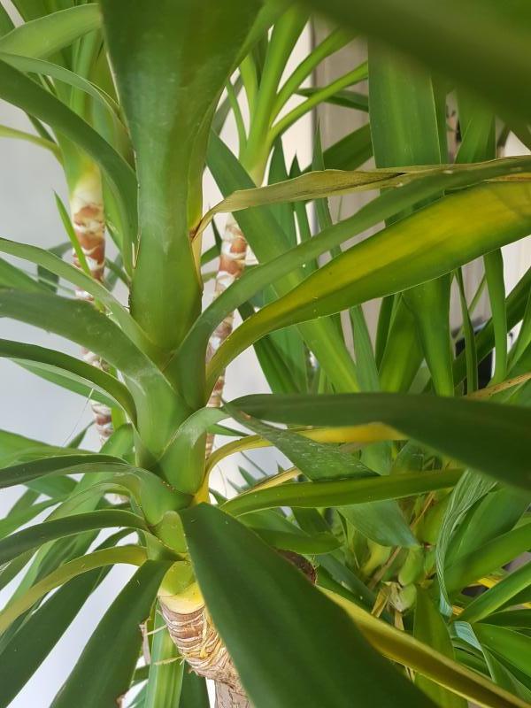 yucca exterieur gele le yucca gloriosa se pla t en ext