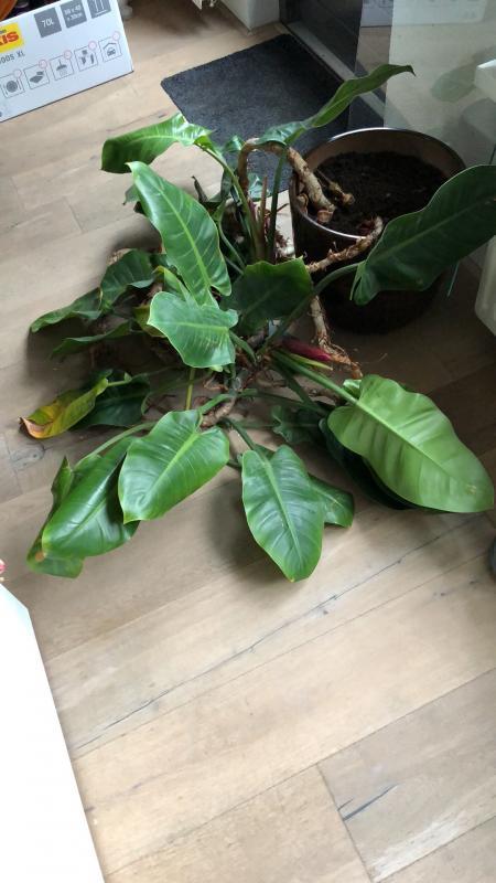 Wie Weet Wie Weet Zie Je De Prins Als Hij De Heuvel Op: Wie Weet Welke Plant Dit Is En Hoe Ik Hem Het Beste Kan
