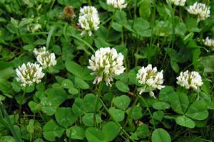 witte klaver Trifolium repens