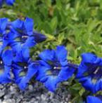 Open tuindagen kwekerij 'De Gentiaan'