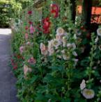 Hortensia-Stokrozen-Hemerocallis-Bamboe Dagen