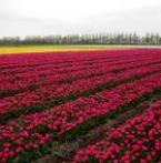 Tulpenroute met tuinenroute inde Noordoostpolder