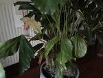 Caryota kamerplant met verkleurde bladeren