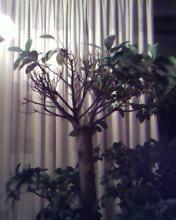 Bonsai boom valt uit!