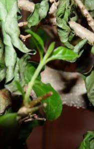 HELP, ik denk dat mijn bonsai aan het sterven is