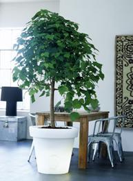 Op zoek naar een boom voor in de huiskamer
