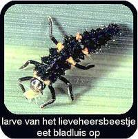 larven van lieveheerstbeestjes