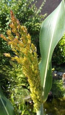 welke plant is dit?/ Sorghum bicolor