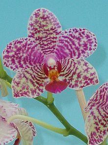 Phalaenopsis id