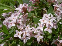 Welke vaste planten ruiken lekker?