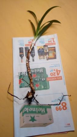Jonge yucca opgepot