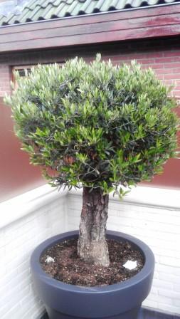 olijfboom met bladuitval