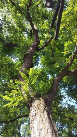 Bomen op het Buitenhof in Den Haag