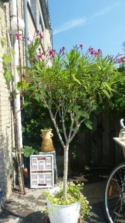 aanpak  maxi bonsai vijg