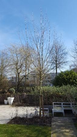 Salix Alba klein houden