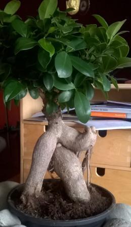 Dode bladeren bonsai Ficus Ginseng