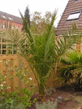 Phoenix canariensis in volle grond