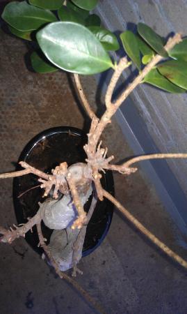 mijn eerste Ficus ginseng bonsai XL