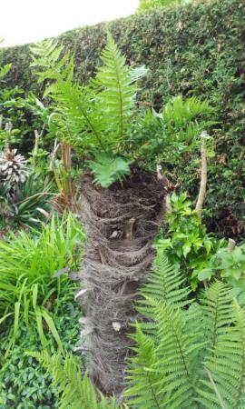 Trachycarpus afzagen noodzakelijk