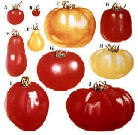 zaadwinning aarbeien + tomaten