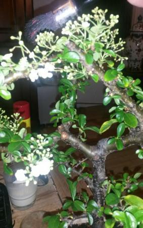 oude berk bonsai