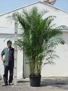 OVER DE VERZORGING VAN EEN ARECA PLANT
