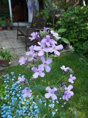 Naam van deze plant/Hesperis matronalis