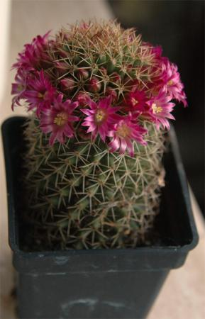 bloeiende cactussen