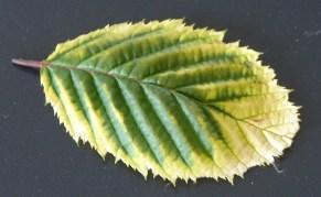 bladeren worden wit