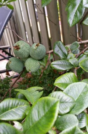 Vruchten Jasmijn