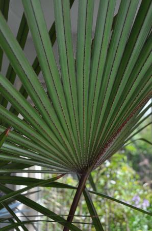 Naam rode palm?