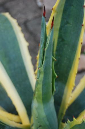 Agave americana met afwijkende bladvorming