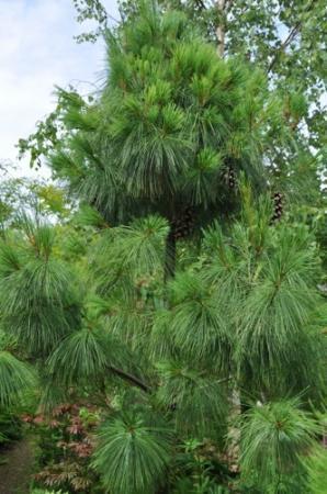 Pinus sylvestris op 1/4 stam