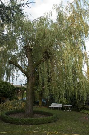 Wilgenboom
