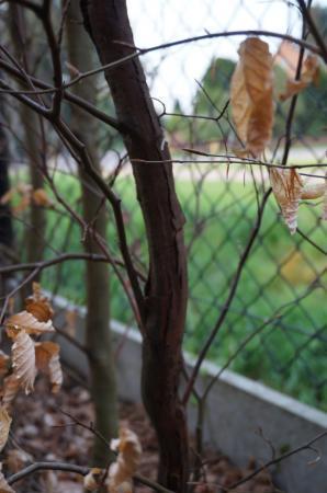 Openbarsten stam fagus sylvatica