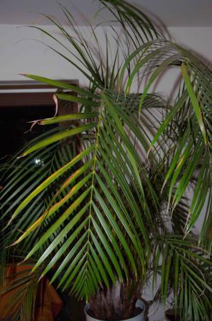 Een koppel zieke palmen…