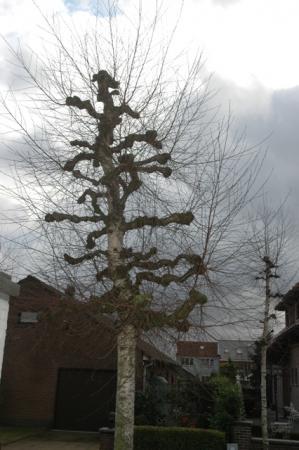 knotbomen