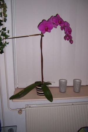 phalaenopsis blad wordt rood aan de onderkant???