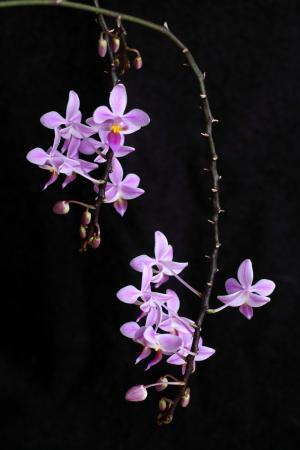 Phalaenopsis bloemstengels